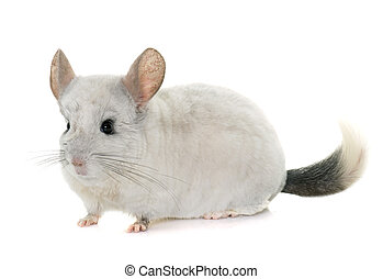 chinchilla in hands - adult chinchilla in hands in front of...