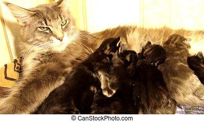 children kittens Maine Coon - fun children kittens Maine...