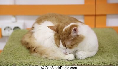 Home cat washing itself on cushion - Home cat lies on a...