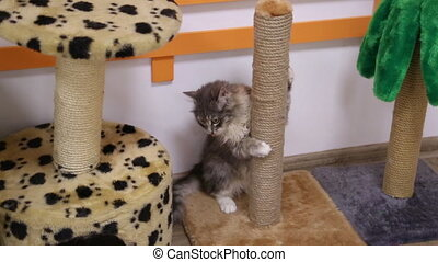 Gray cat playing at scratching post - Little gray cat...