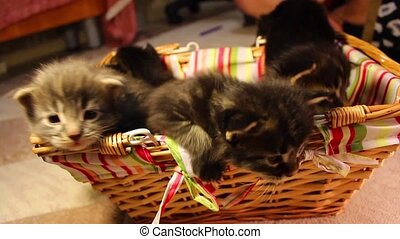 children kittens Maine Coon - fun children kittens Maine...