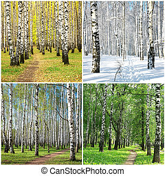 Four seasons collage row of birches