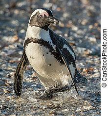 African penguin African penguin spheniscus demersus, also...