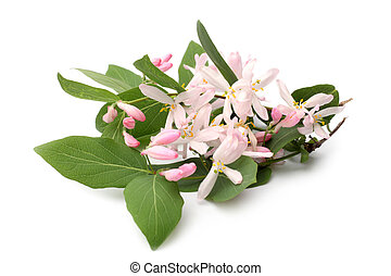 Lonicera tatarica branch with flowers on white background