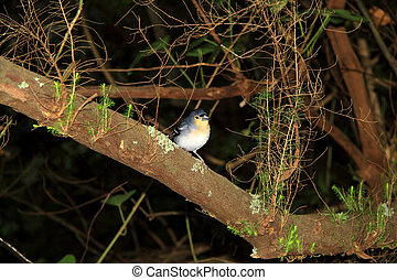 Chaffinch bird of Canary Islands - Chaffinch La Palma...