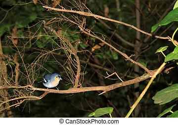 Gorgeous Chaffinch bird (La Palma) - Chaffinch (La Palma)...