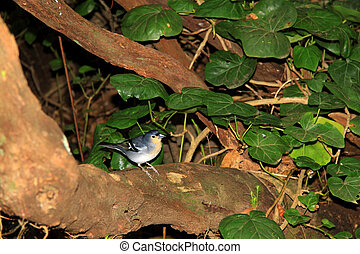 Chaffinch bird of Canary Islands - Chaffinch (La Palma)...