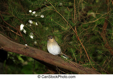 Beautiful female Chaffinch bird - Chaffinch (La Palma)...