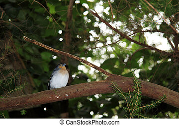 Beautiful male Chaffinch bird - Chaffinch (La Palma)...