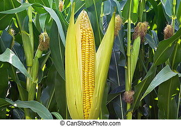 Ear of corn against a field in september