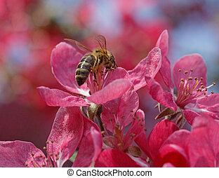 bee on apple tree blossom