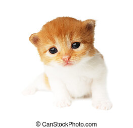 Cute orange red kitten isolated - Cute orange red and white...