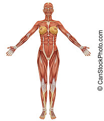 Front view of the female muscular anatomy.