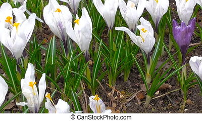 The first spring flowers