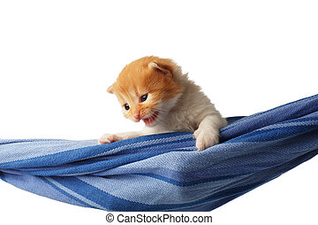 Cute red orange kitten in a hammock isolated - Red kitten in...