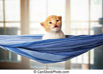 Cute red orange kitten in blue hammock - Red kitten in a...