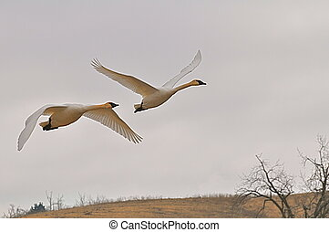 Two trumpeter swans  - two trumpeter swans