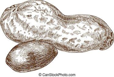 illustration of peanut