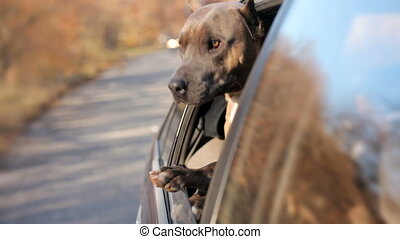 Funny Dog Looking Out Of Car Window - In the frame there is...