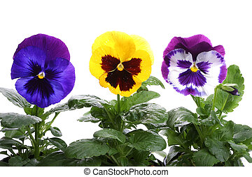 yellow blue purple pansy isolated over white