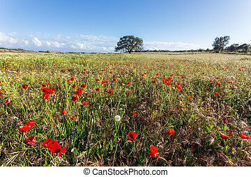 Meadow with poppys.