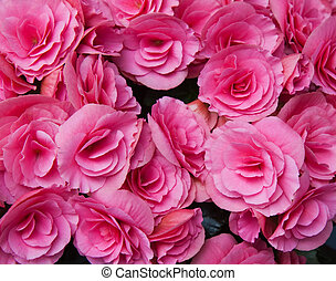Pink flowers of tuberous begonias - Numerous bright pink...