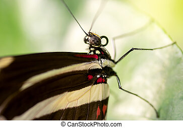 Zebra longwing butterfly - Macro of a zebra longwing...