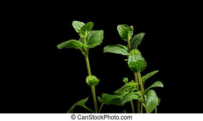 Mint Growing Time-lapse - Time-lapse of MintMentha sp...
