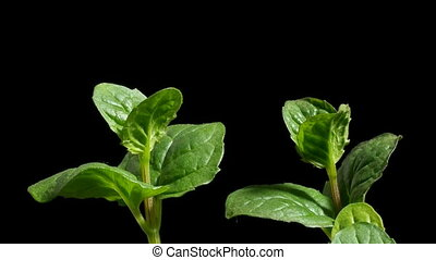 Mint Growing Time-lapse - Time-lapse of Mint(Mentha sp.)...