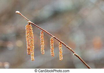 Hazel catkin closeup in morning light