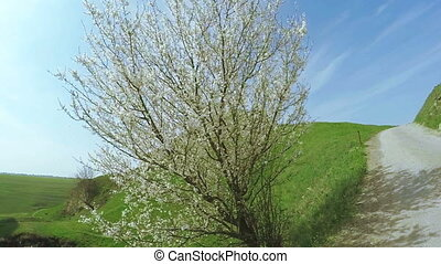 Blooming fruit tree - Separate white flowering fruit tree