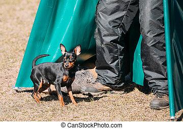 Pinscher dog training. Biting dog. Zwergpinscher - Miniature...