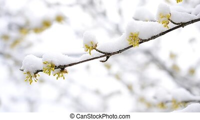 Snow falls on blossoming yellow Cornelian cherry twig - Snow...