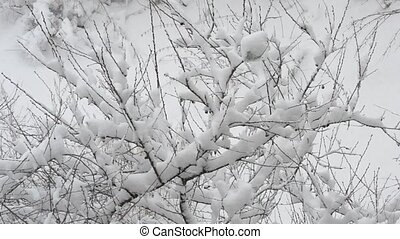 Snow falling on cherry tree branch on white snowy background