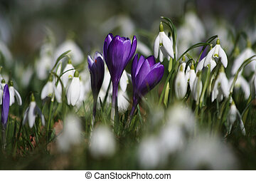 Purple crocuses and snow drops