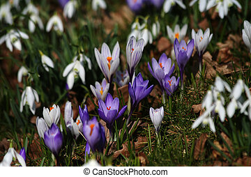 Crocuses and snow drops