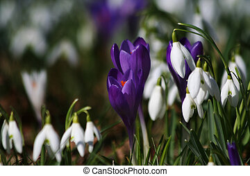 Wild spring flowers crocuses and snow drops