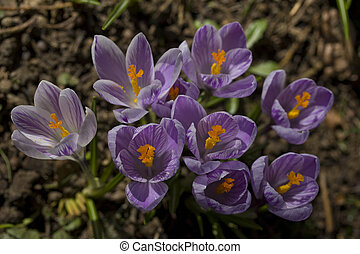 A bunch of wild purple crocuses