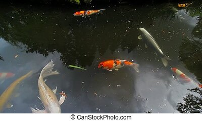Koi fish swimming in pond - High definition 1080p movie of...
