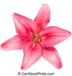 Blooming pink lily - Pink lily flower isolated on white...
