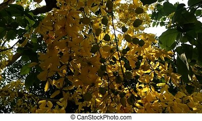 cassia fistula flower with sunlight footage background