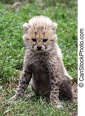Cheetah Cub - Portrait of a young cheetah cub with spotty...