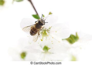 Honeybee and cherry flowers - Nature background Honeybee and...