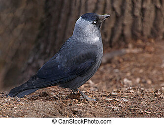 western jackdaw - close up of western jackdaw on ground