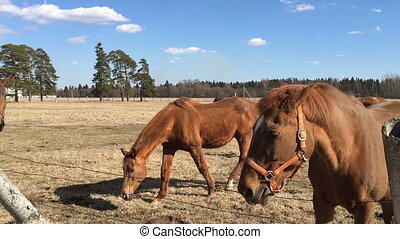 Many brown horses in the paddock. - Many brown horse in the...