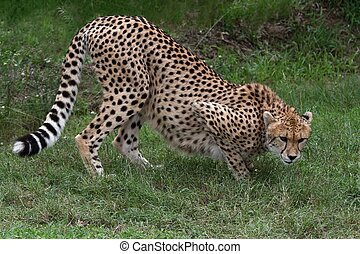 Stalking Cheetah Cat - Stalking cheetah big cat with...