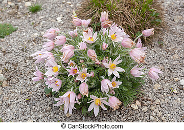 Pasque Flower - Pink Pasque Flower in the garden