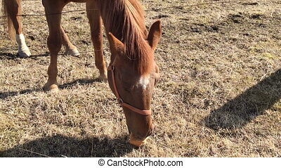 Horse in the shelter eats a bread. Video full hd.