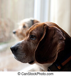 Dogs with Separation Anxiety - Two dogs with separation...
