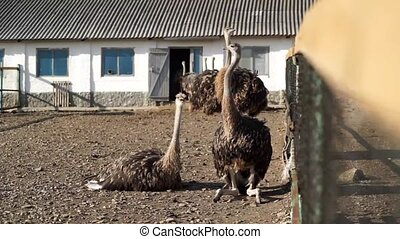 Ostrich on the farm in Russia